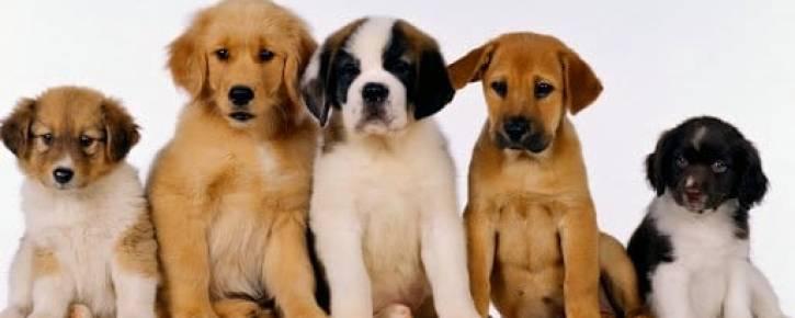 Что нужно знать перед покупкой щенка