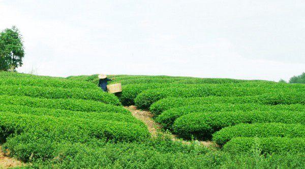 Дахунпао - отец 10 тысяч чаев
