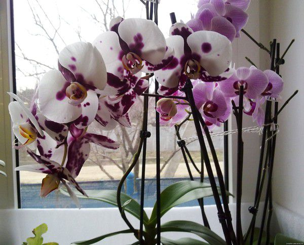 Как правильно пересадить орхидею?